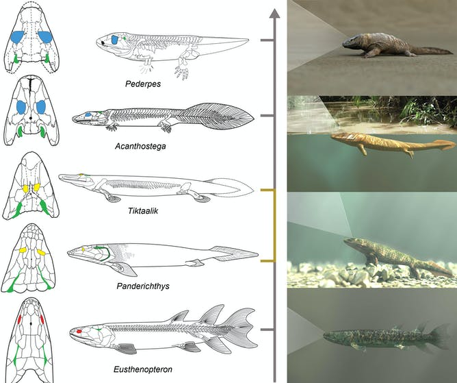 How vertebrate vision improved dramatically in the stages from life in water as a fish to life on land as a limbed tetrapod