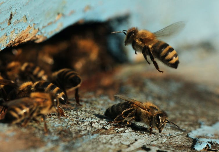 Watch these bees play soccer after scientists trained them to score goals