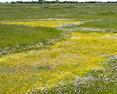 Vernal pools, like this one at Mather Field near Sacramento, form in winter and spring and support many types of animals and plants