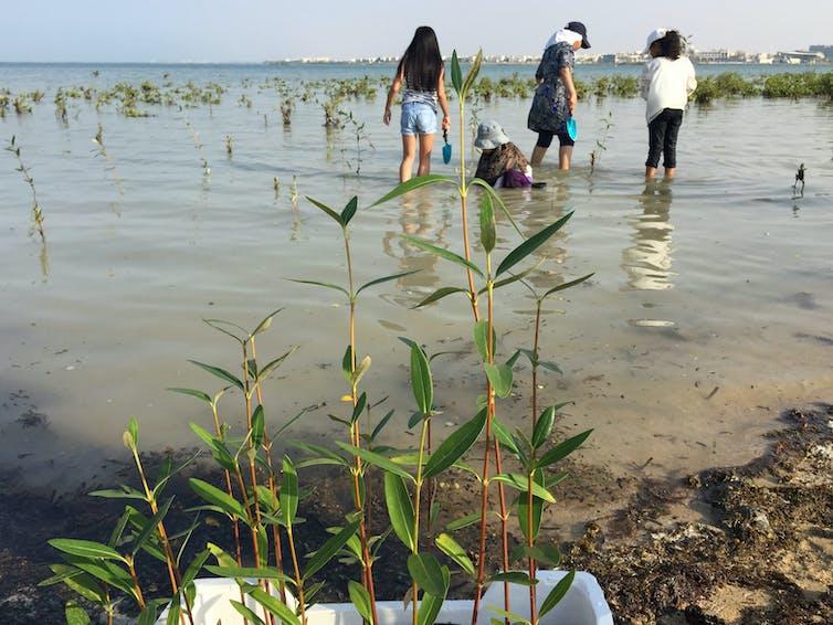 Planting mangroves in Thuwal. Credit: Hanan Almahasheer