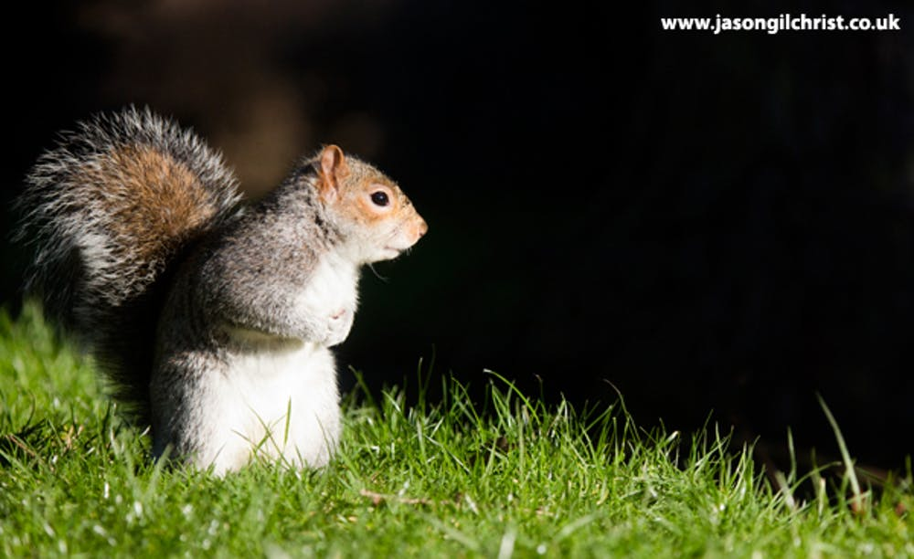 In defence of the grey squirrel, Britain's most unpopular