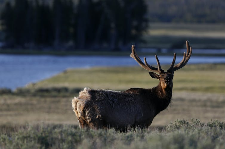 Nothing to fear – until now. An elk in Yellowstone National Park. Reuters / Jim Urquhart