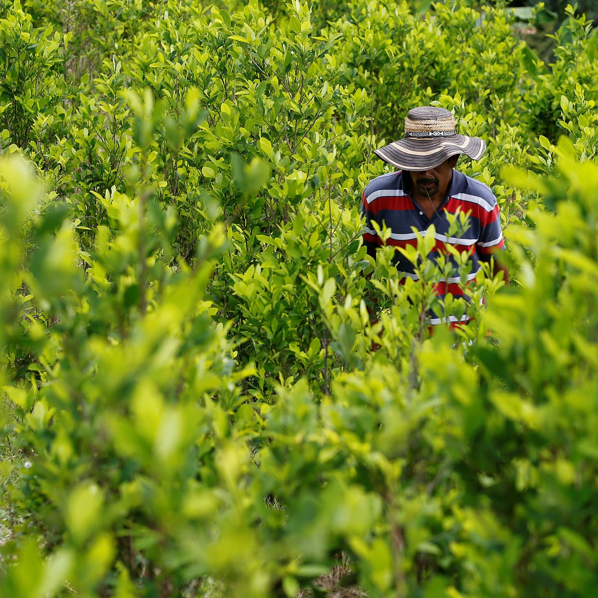 Why coca leaf, not coffee, may always be Colombia's