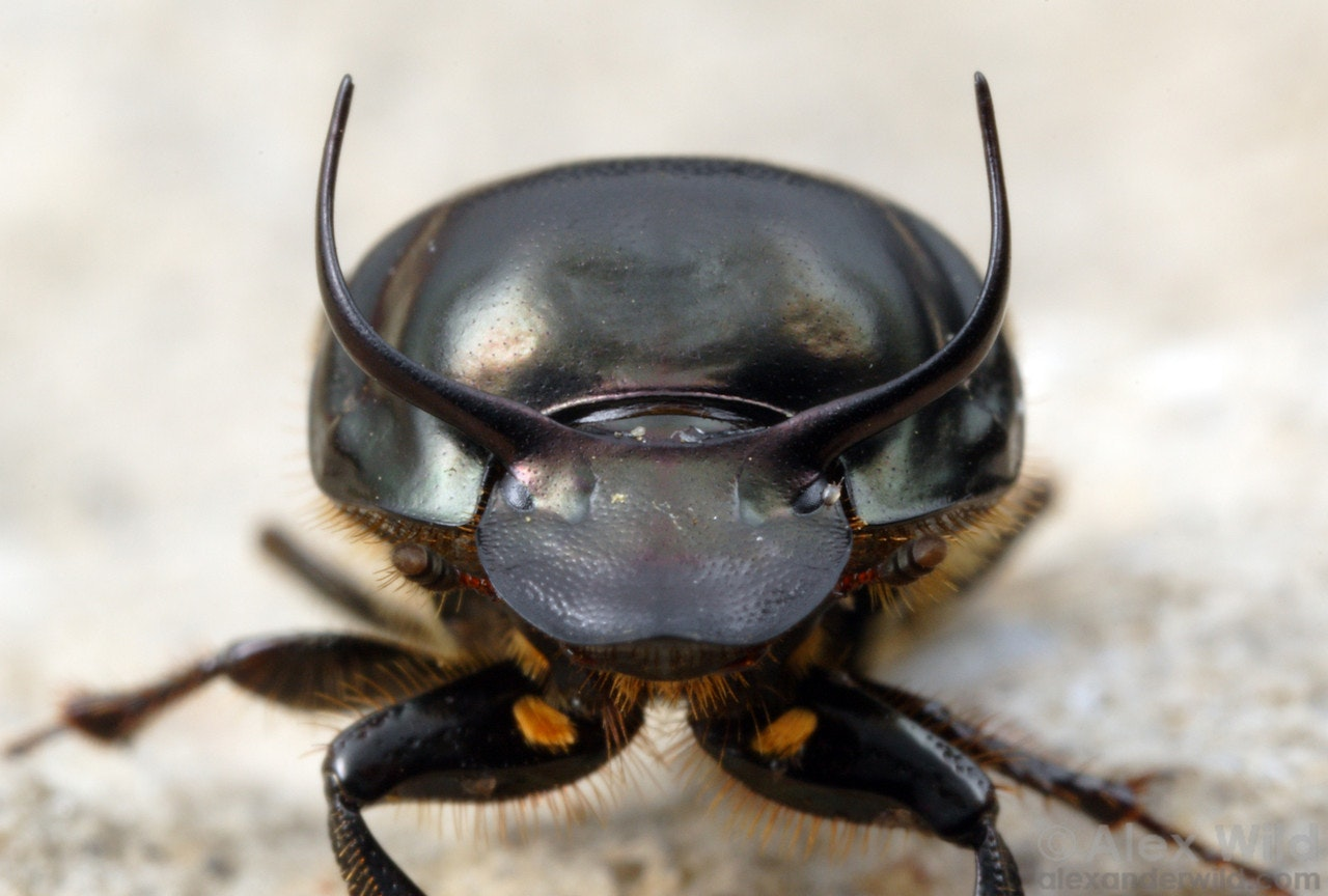 What dung beetles are teaching us about the genetics of ... Q The Dung Beetle