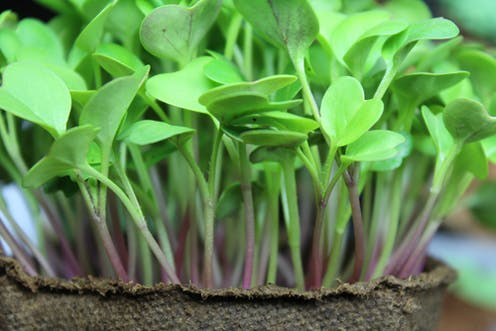 Health Check: are microgreens better for you than regular
