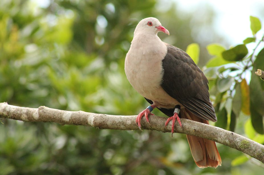 How a genetic rescue mission could save the pink pigeon in Mauritius
