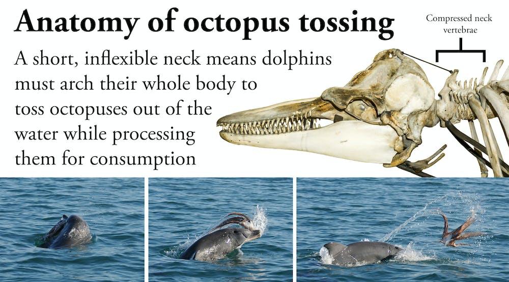 Tackling the kraken: unique dolphin strategy delivers dangerous ...
