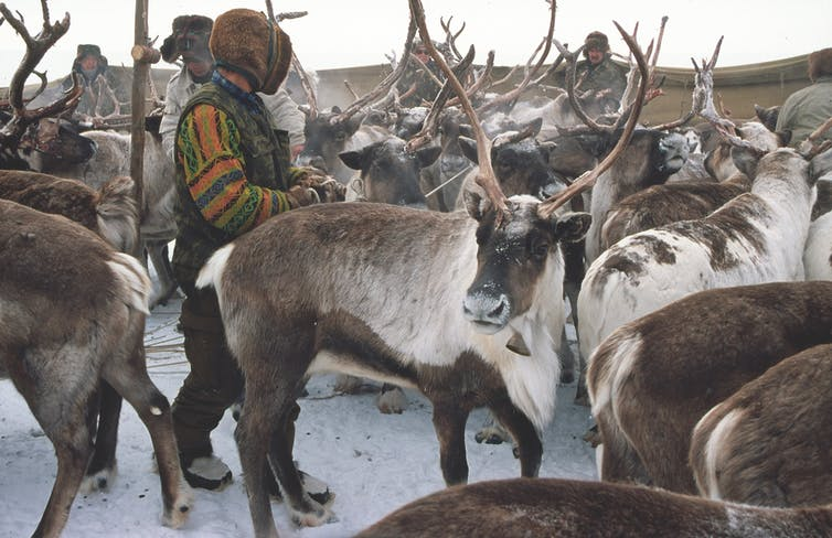 Reindeer in the Arctic are very important components of Indigenous and traditional ways of life. Credit: Tero Mustonen
