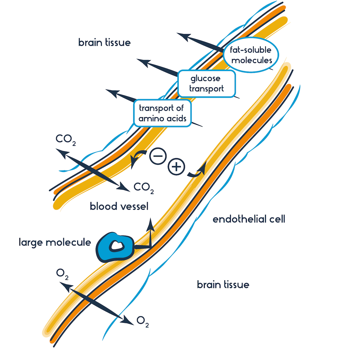 explainer what is the blood brain barrier and how can we overcome it? Rat Brain Diagram