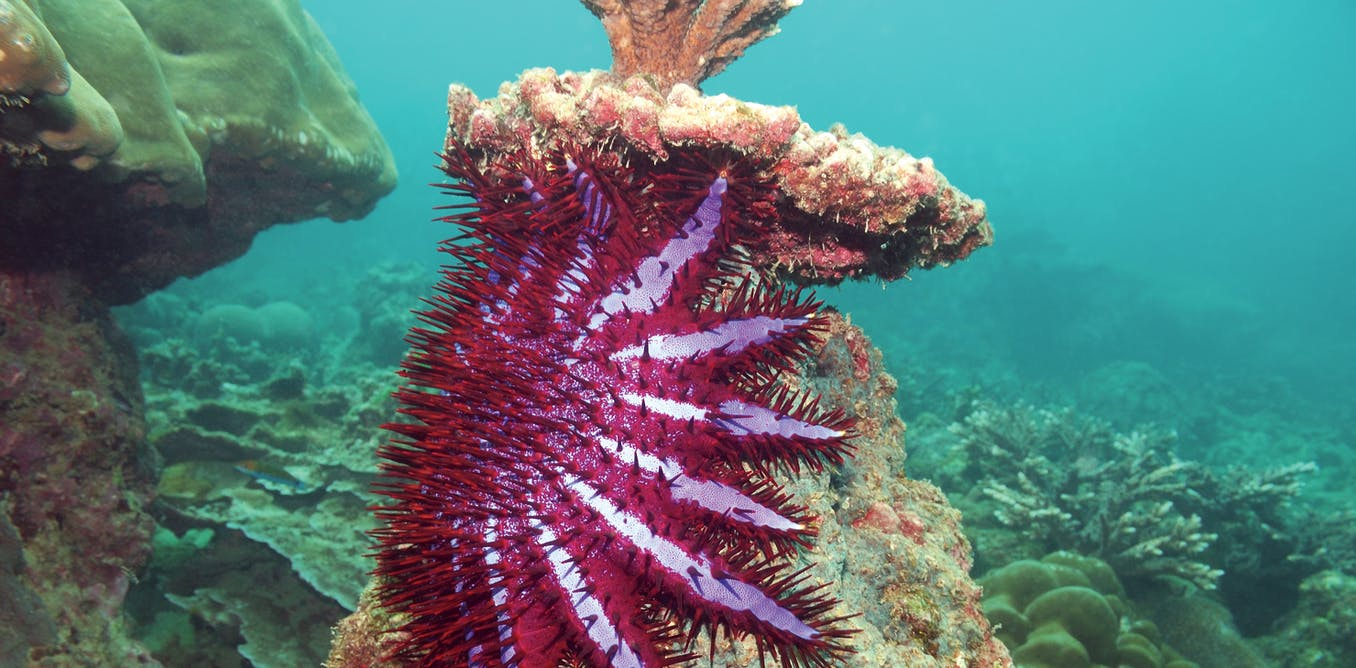 Love Connection Breakthrough Fights Crown Of Thorns Starfish With