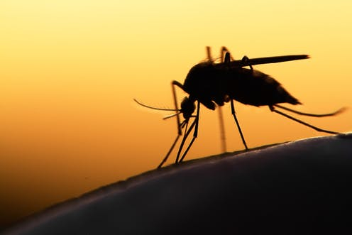 Image result for malaria mosquito
