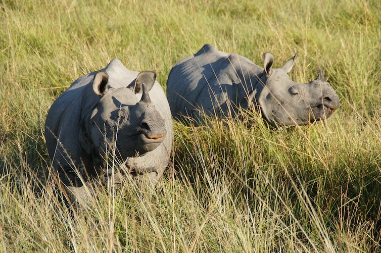 Rhinos in Kaziranga National Park.  Malcolm Williams/Flickr, CC BY-NC
