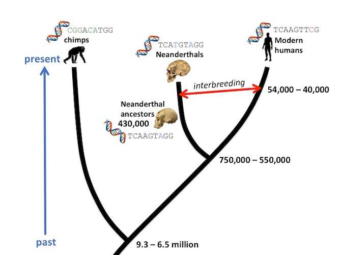 DNA dating: How molecular clocks are refining human evolution's ...