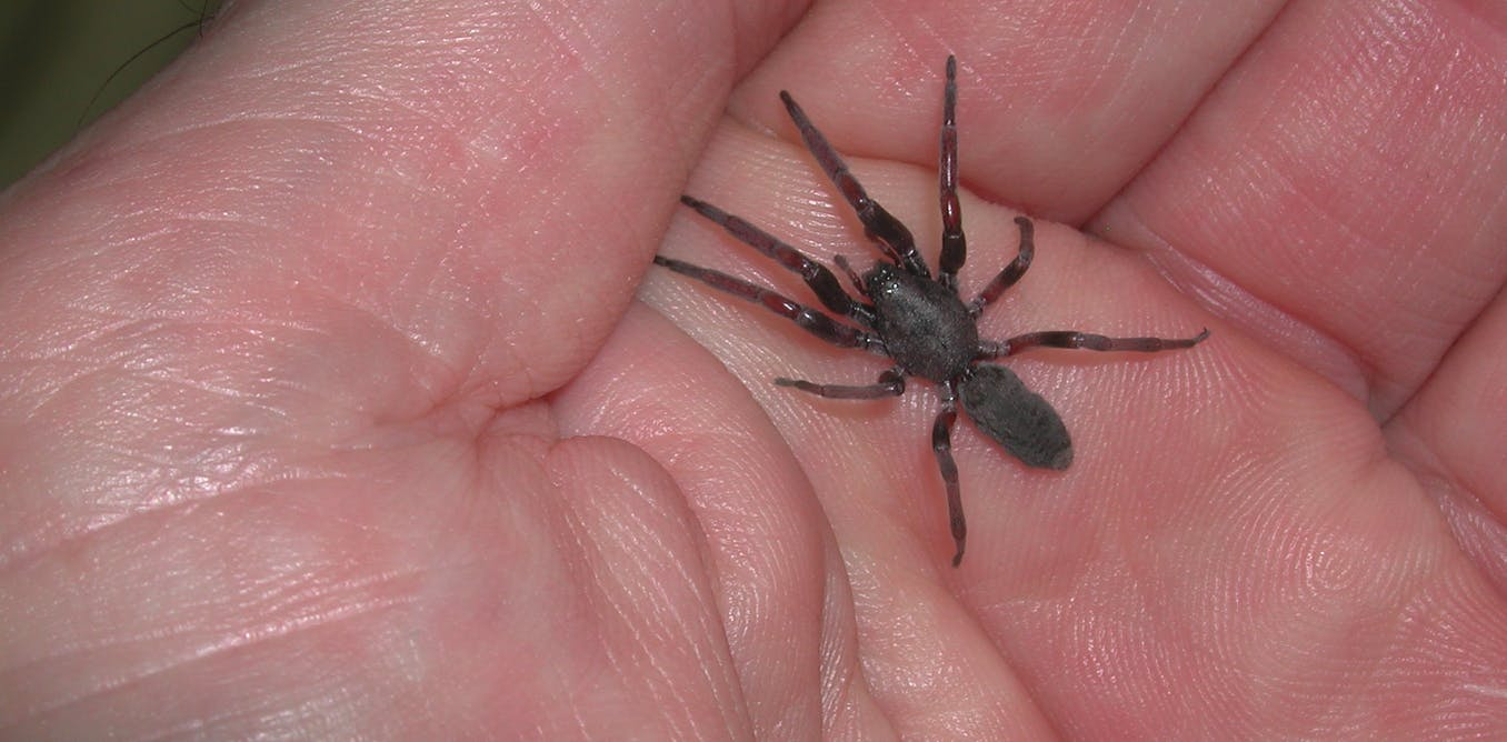 The Truth About Spider Bites In Australia Theyre Unlikely To Eat