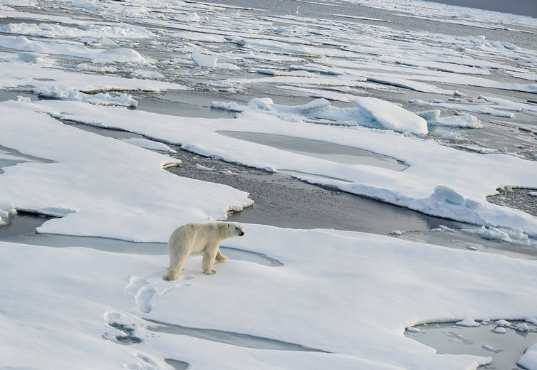 A polar bear walks on the ice floes north of Svalbard. wildestanimal/Shutterstock