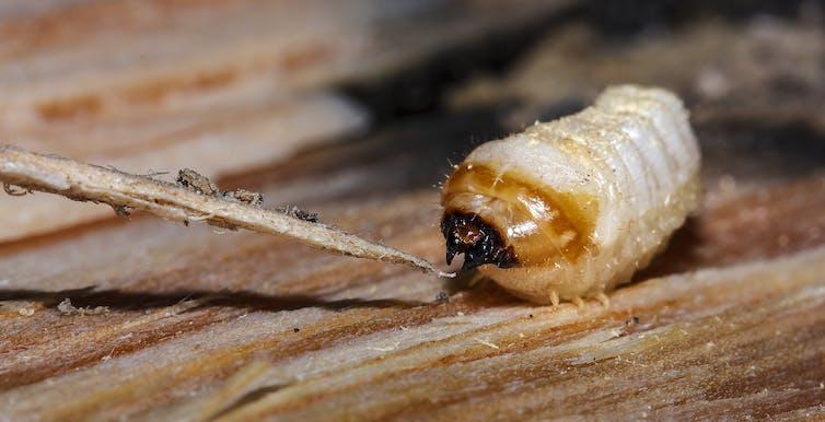 Larvae of longhorn beetle feeding on pine stump. Credit: Michał Filipiak/The Conversation
