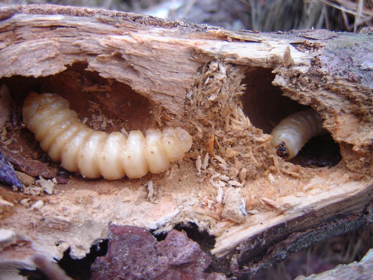 Huhu beetle (Prionoplus reticularis) larvae contribute to the decomposition of dead pine wood. Credit: Charlotte Simmonds/Wikimedia