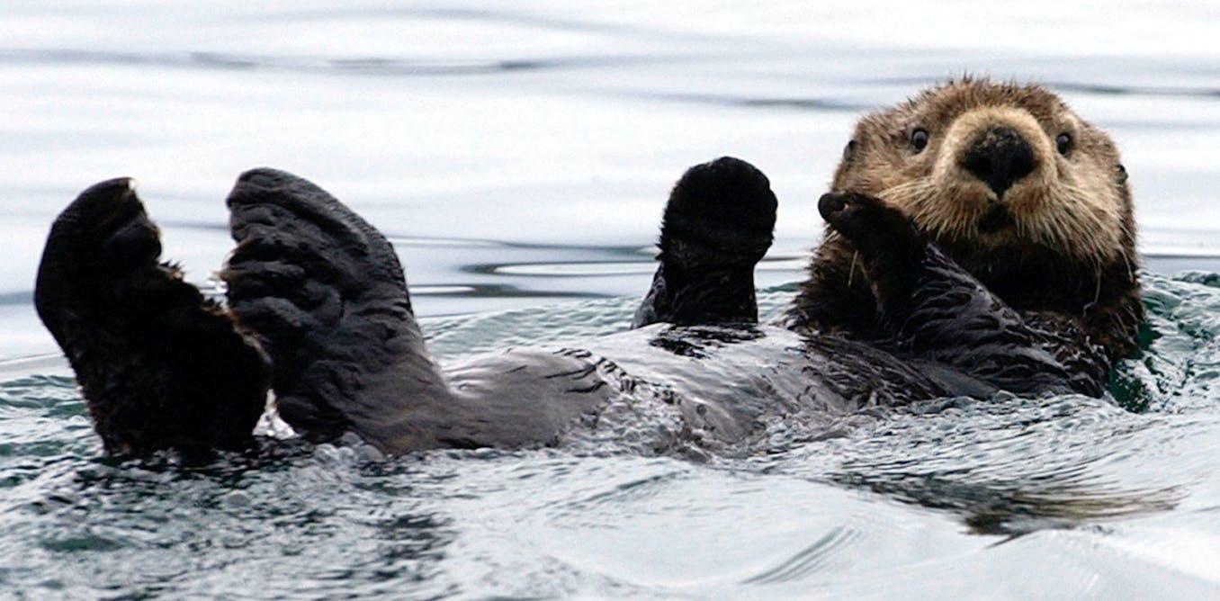 Marine Otter size, range, habitat, facts, food chain, scientific name, vs sea otter, baby, adorable