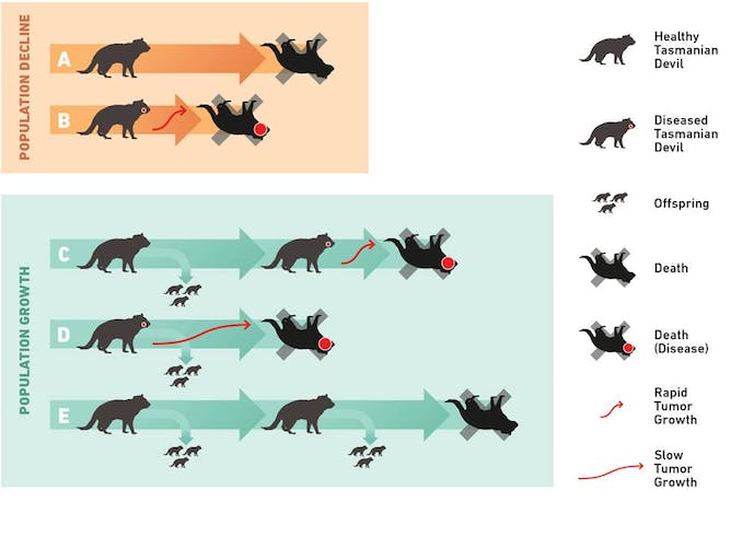Tasmanian Devils May Be Rapidly Evolving To Resist A Deadly Cancer