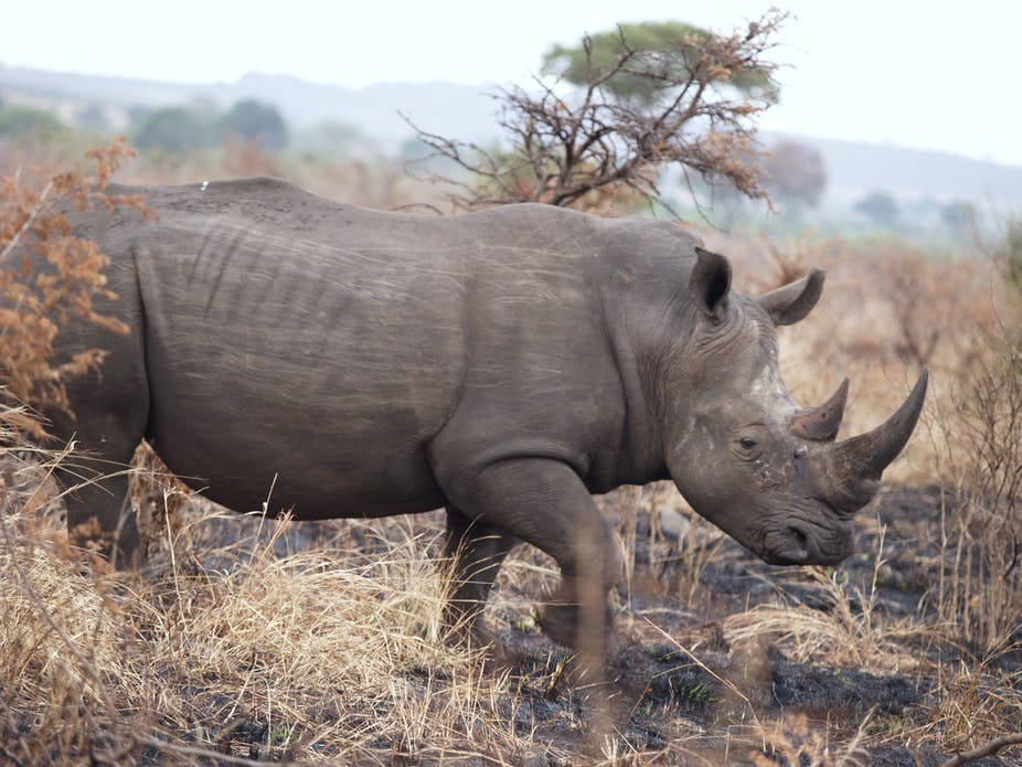 Rhinos should be conserved in Africa, not moved to Australia