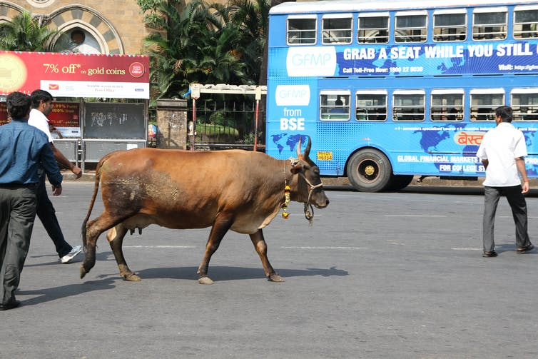 Holy cow: as Hindu nationalism surges in India, cows are