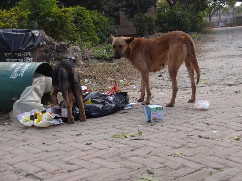 The bark side: domestic dogs threaten endangered species