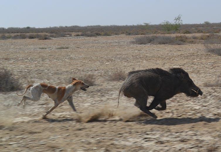 feral-dog-wild-boar-india