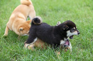 Vaccinate your puppies – a new strain of parvo has been found in