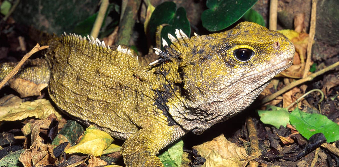Not A Lizard Nor Dinosaur Tuatara Is The Sole Survivor Of Once Widespread Reptile Group