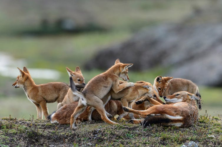 Ethiopian wolf wolves carnivore conservation
