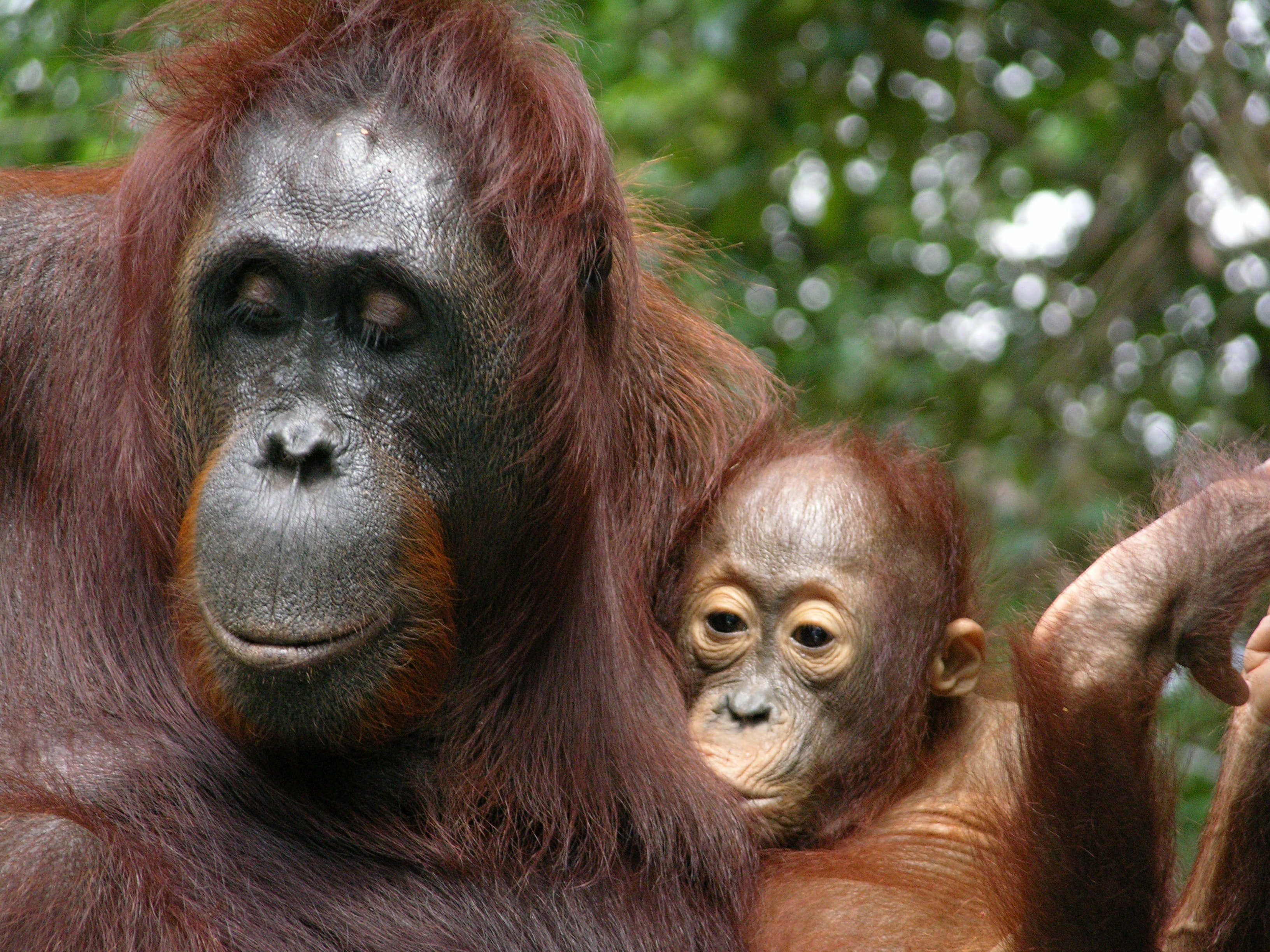 Image of: Orang Utan The Conversation The Lengthy Childhood Of Endangered Orangutans Is Written In Their Teeth