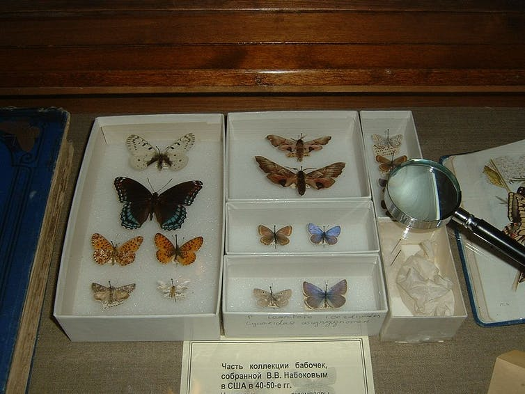 Butterflies collected by Vladimir Nabakov.
