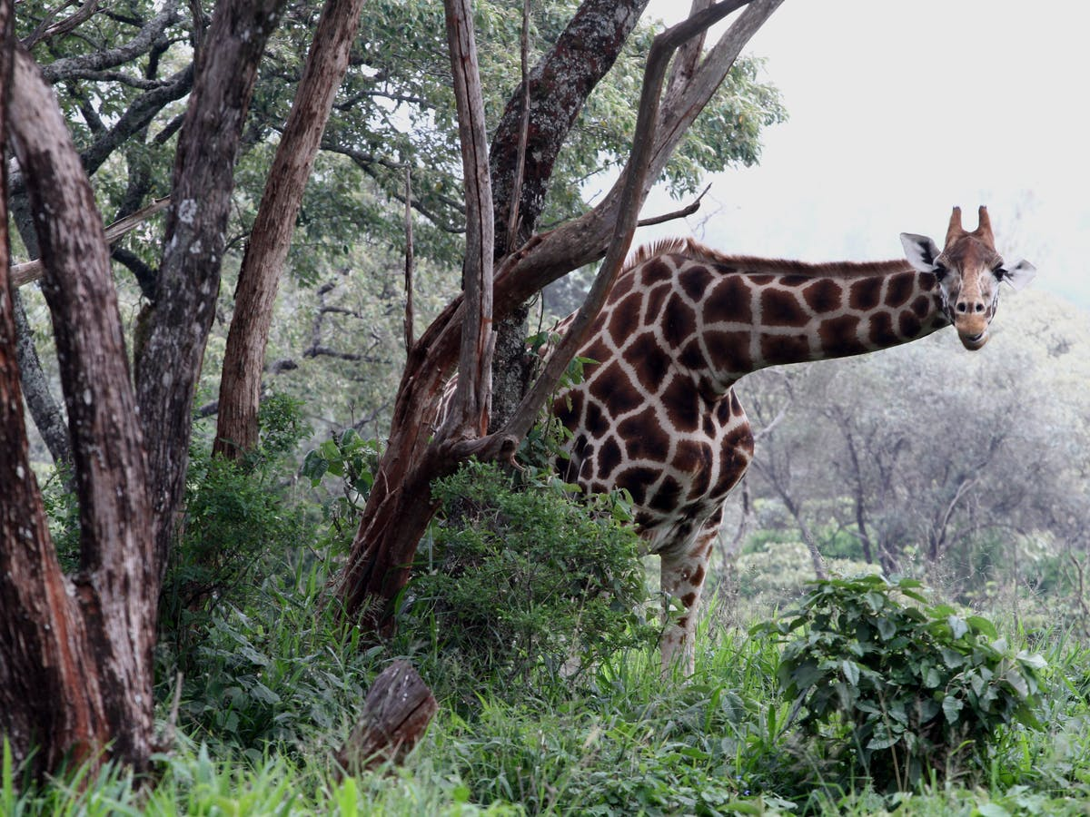 Giraffes Are In Trouble The Us Endangered Species Act Can Help