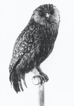 he laughing owl went extinct in New Zealand in 1914. Photographed by Kendrick, J. L. and with thanks from NZ Department of Conservation, Author provided