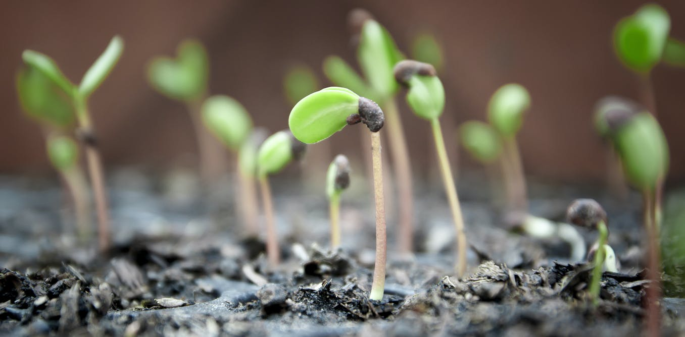 Curious Kids How Can A Tiny Seed Actually Grow Into Huge Tree Germination Diagram It Works From