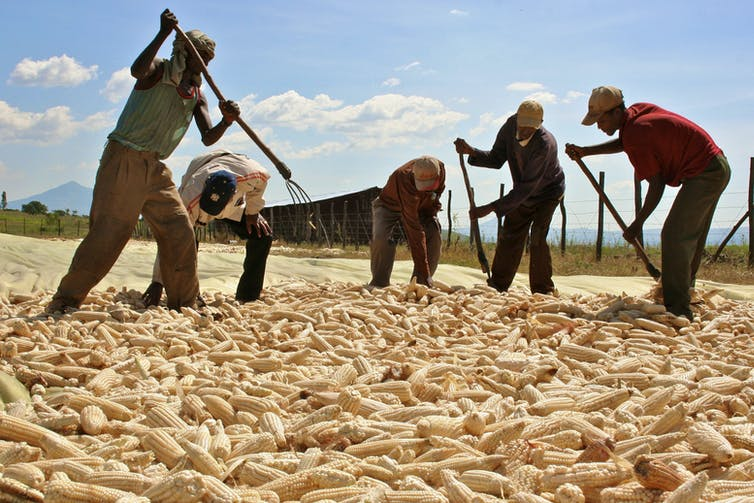 Workers harvesting from a commercial farm in Ethiopia. Credit: Reuters/Barry Malone