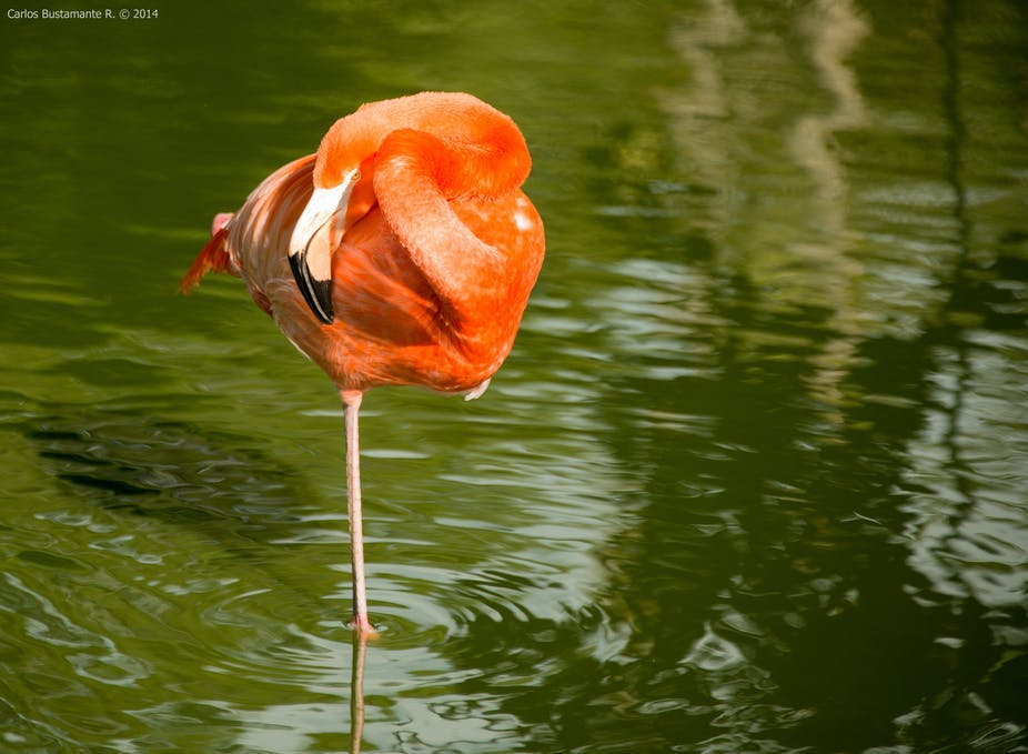 Neuromechanics of flamingos\' amazing feats of balance