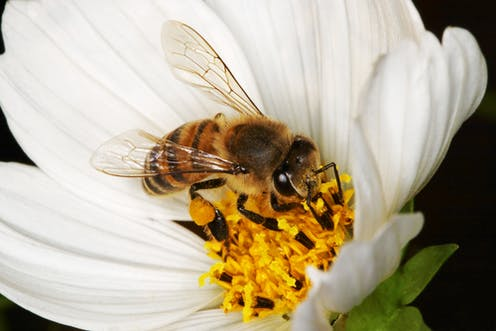Meeting The Dietary Needs Of Honey Bees Is Tough For South