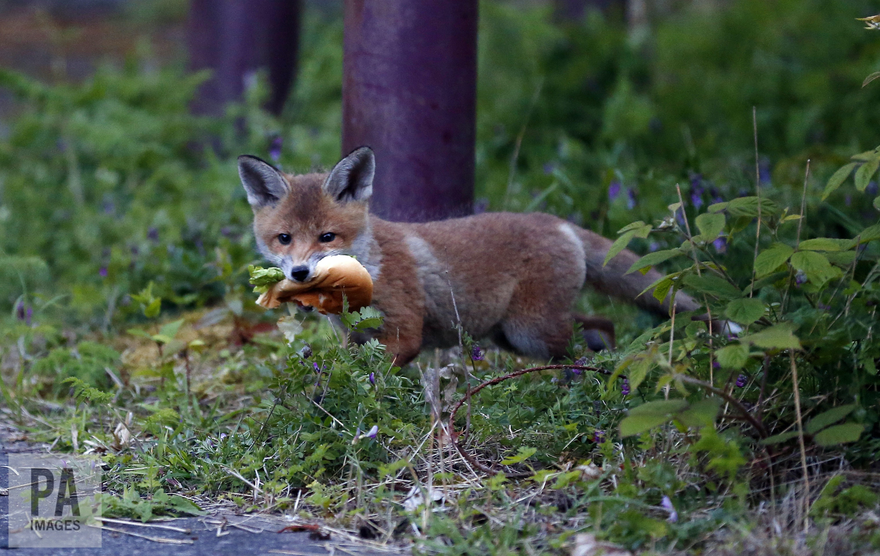 how the red fox adapted to life in our towns and cities