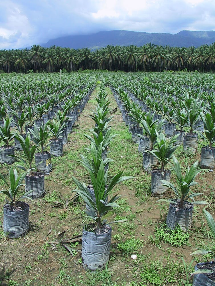 palm oil stalemate who is responsible Unsustainable palm oil development fuels widespread what can i do and starbucks needs to hear from us that we won't wait any longer for responsible palm oil.