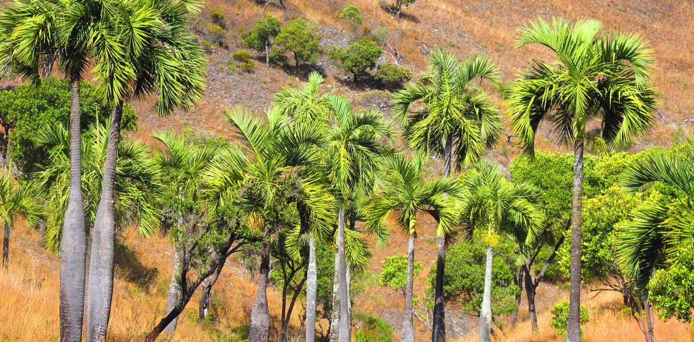 The loss of Madagascar's unique palm trees will devastate ecosystems