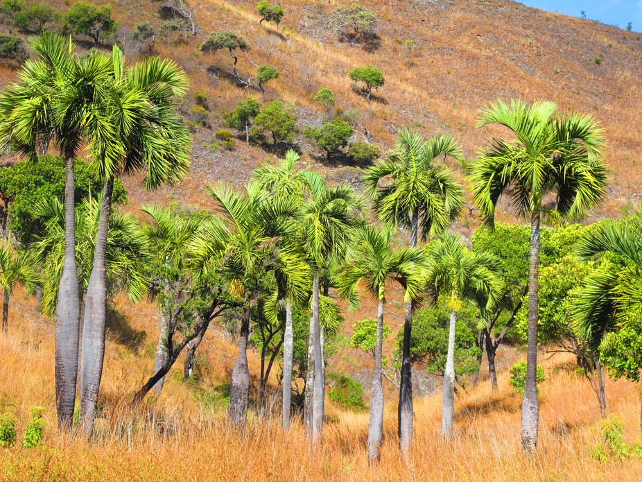the loss of madagascar s unique palm trees will devastate ecosystems