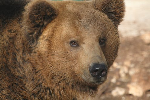 italy has its own subspecies of bear but there are only 50 left
