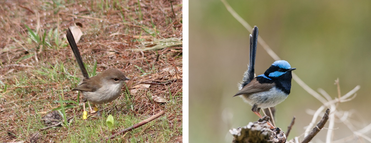 A male superb fairy-wren in brown plumage (left) and bright blue-and-back  plumage (right) Niki Teunissen and Kaspar Delhey 20e6cab08894