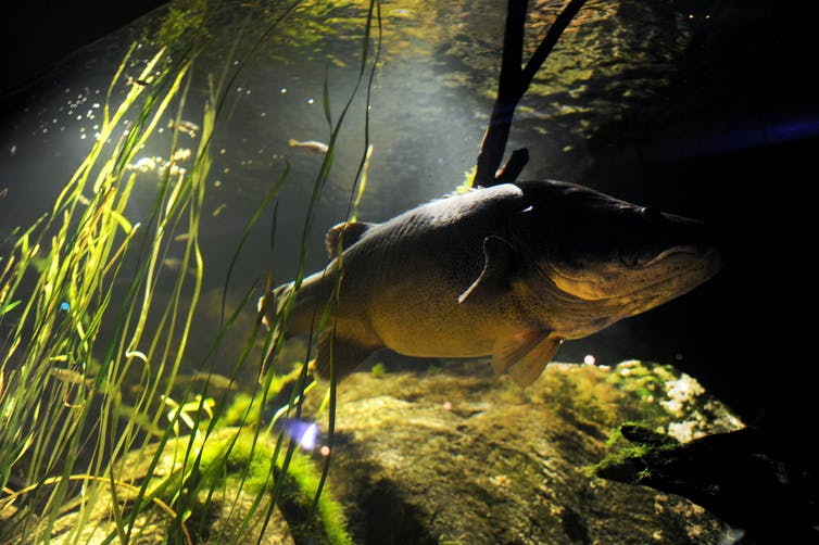 Image of A native Murray Darling cod