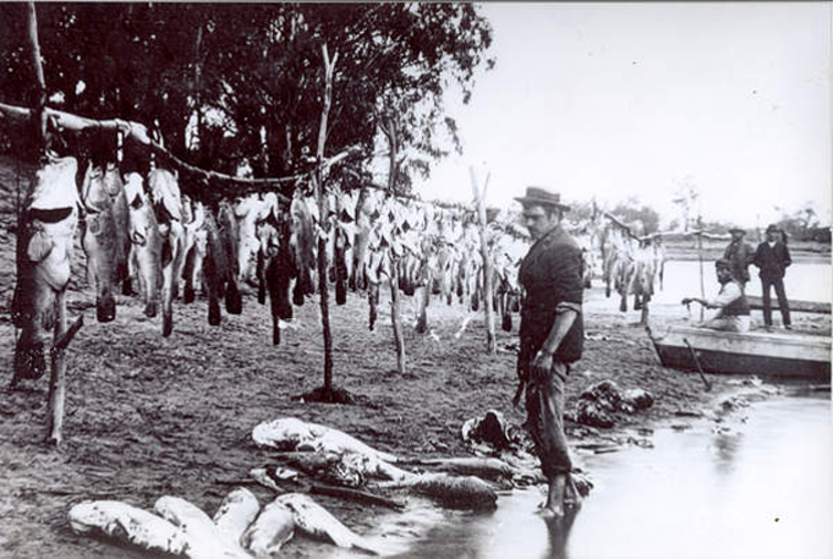 Image of  extreme overfishing of Murray cod in the late 1800s