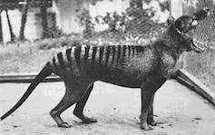 Image of a thylacine