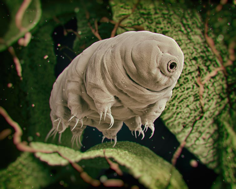 Earth's last survivors of an apocalyptic event will be water bears
