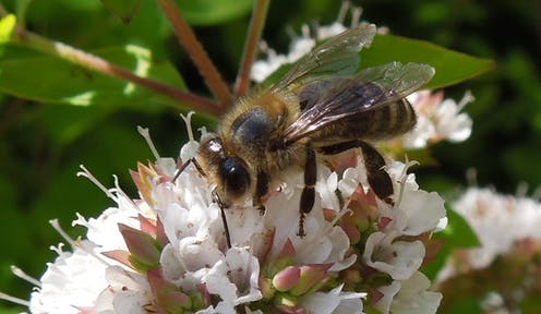 The Common Herb That Could Bring Bees