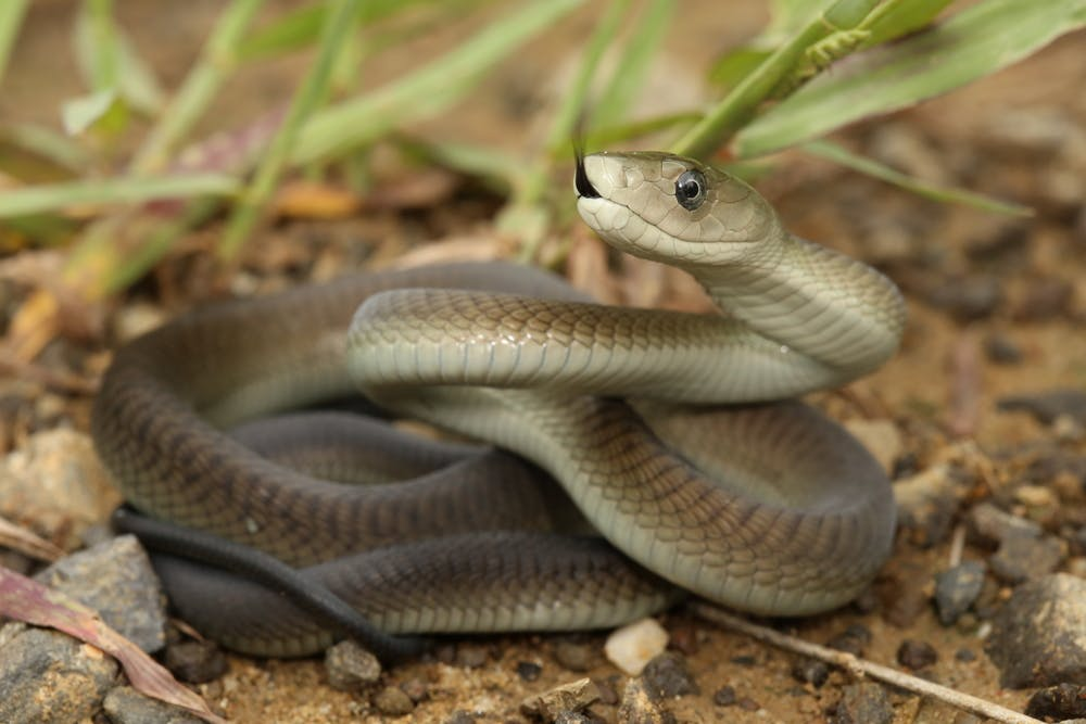 Snakebites still exact a high toll in Africa  A shortage of